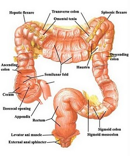 Diagestive system in human body more about rge intestine the large intestine is about 15 m long and consists of the caecum appendix colon and rectum which are distributed in the abdominal cavity ccuart Choice Image